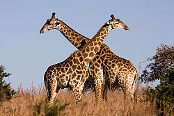 Two adult giraffes standing in the tall grass with open sky behind them. They are pressed chest-to-chest, so that their necks make a V-shape, extending to the sky.